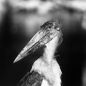 Cigüeña Marabú